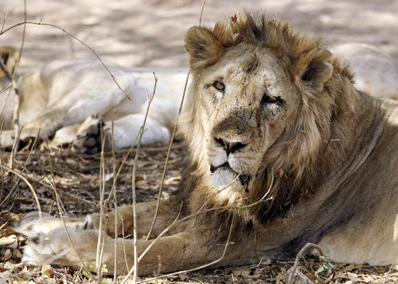 An Asiatic lion has a snooze in the Gir forest