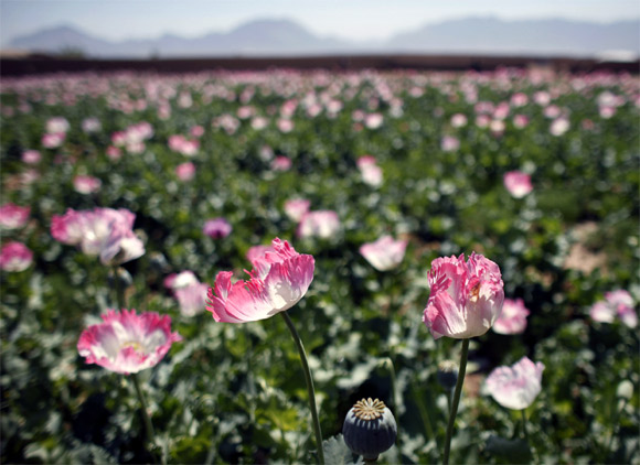 A large field of poppies grows on the outskirts of Jelawar village in Arghandab Valley, Afghanistan