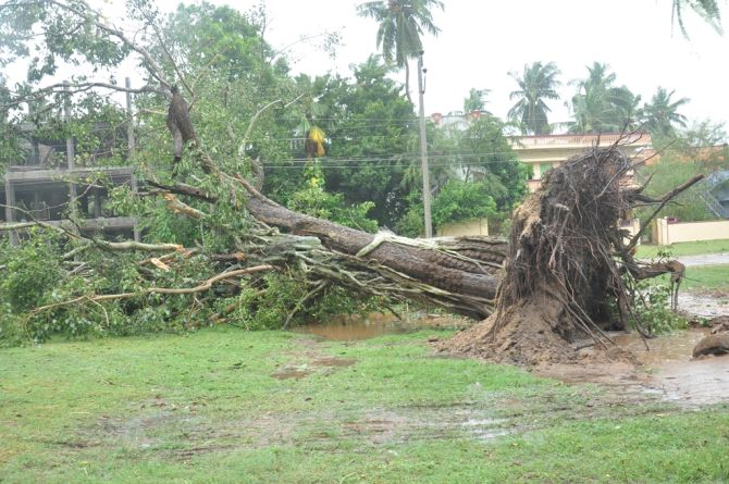 An uprooted tree in East Godavari district