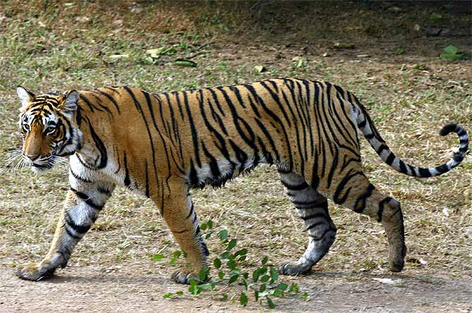 A female tigress at the Ranthambore National Park.