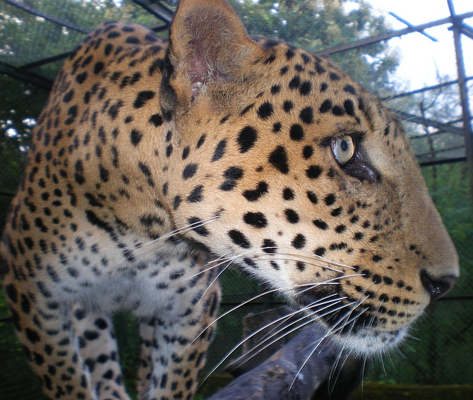 A wounded leopard at the centre