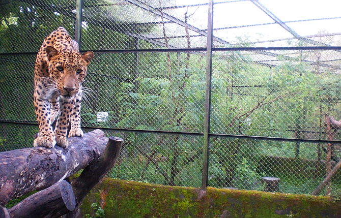 Manikdoh is the only rehabilitation center in India exclusively for leopards