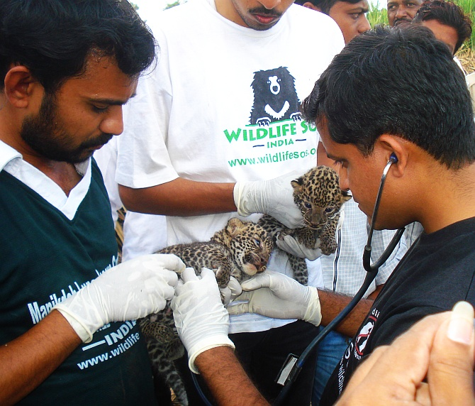 A team of doctors examines leopard cubs