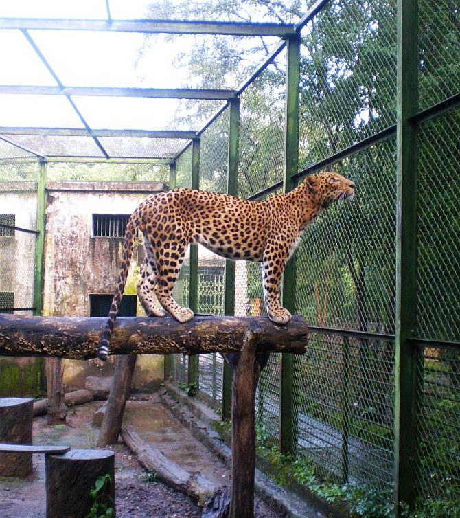 A recovering leopard at the centre