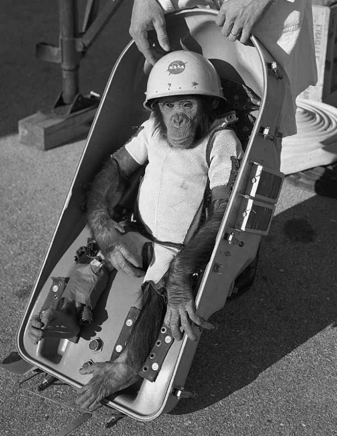 Chimpanzee 'Ham' in space suit is fitted into the biopack couch of the Mercury-Redstone 2 capsule prior to its test flight which was conducted on January 31, 1961.
