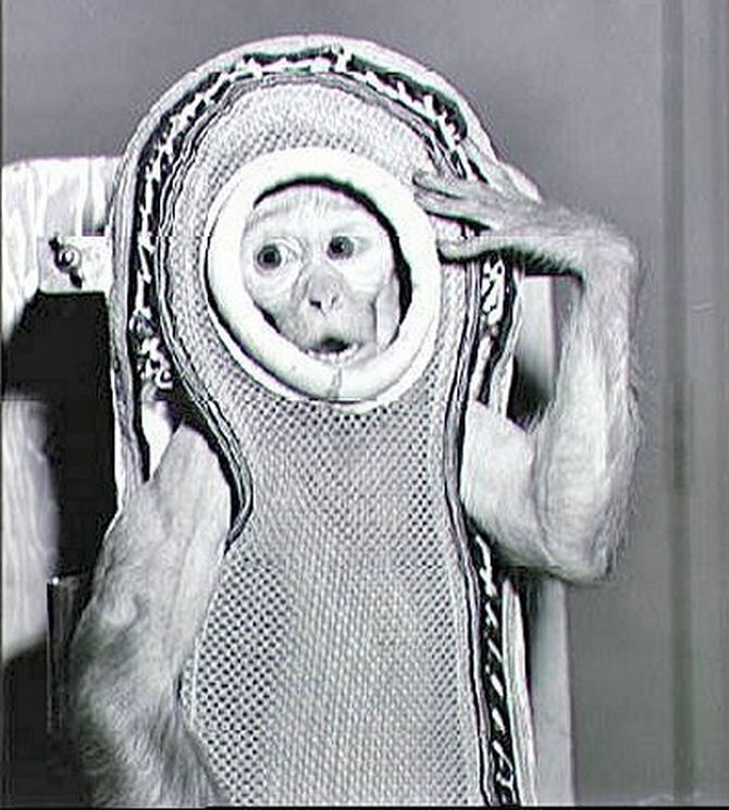A rhesus monkey named Sam, is seen encased in a model of the Mercury fiberglass contour couch.