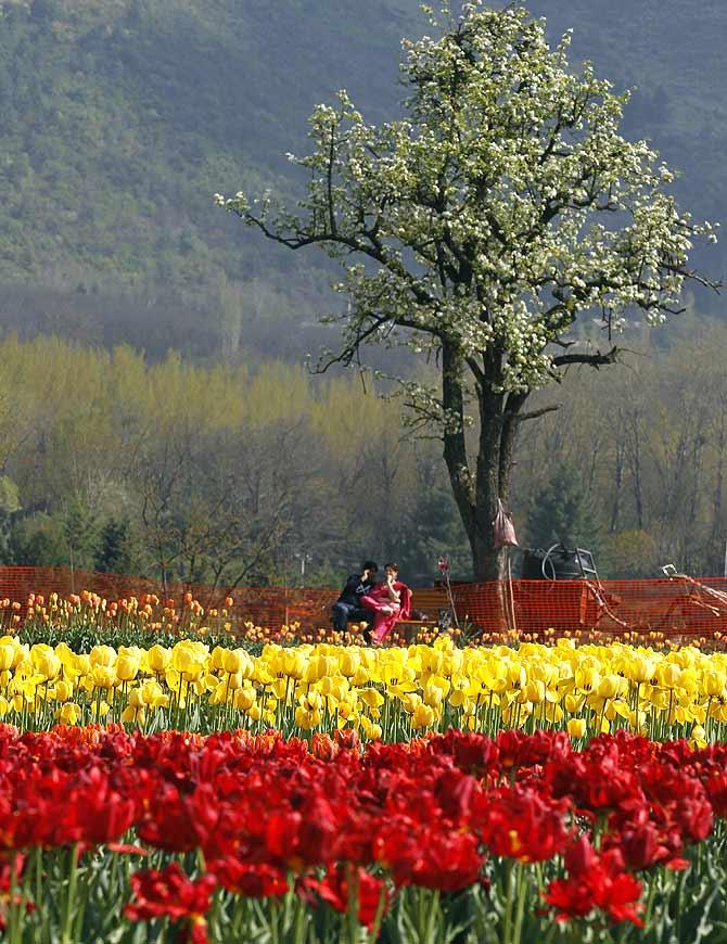 Kashmir's famous tulip garden in Srinagar.
