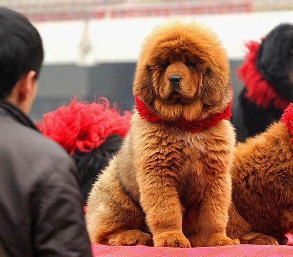 This Tibetan mastiff puppy was sold for $2 million