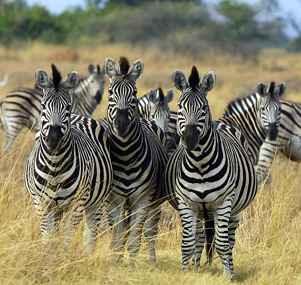 How and why zebras got their stripes