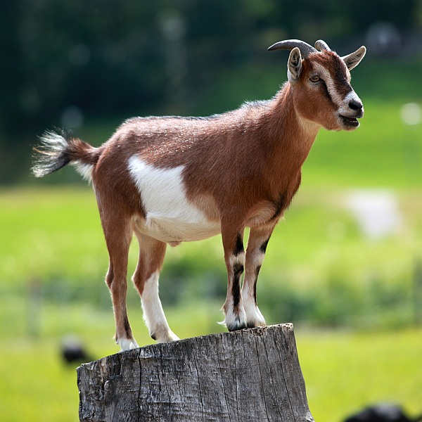 Goats are intelligent animals after all