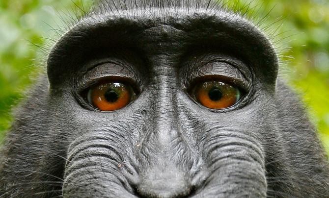 Monkey caught in copyright war over selfie