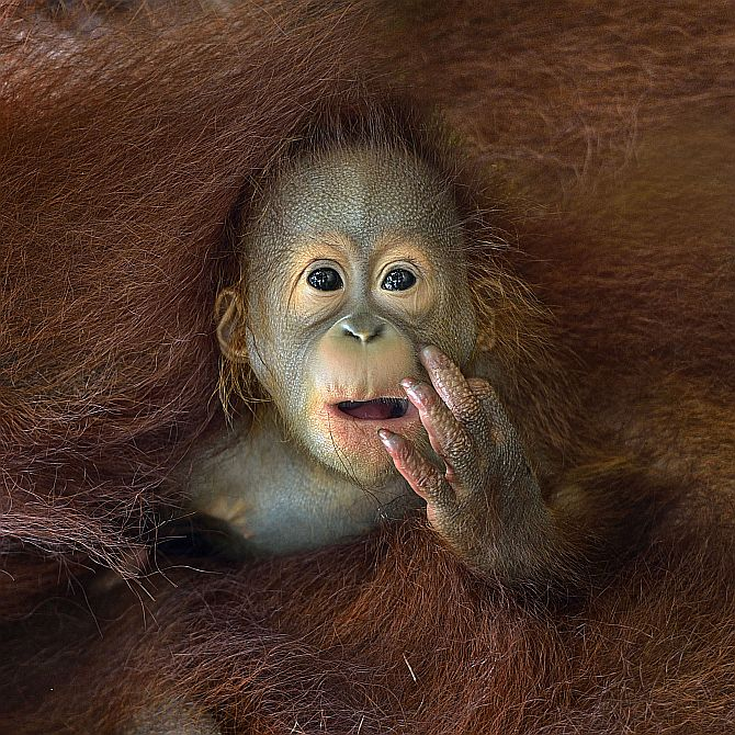 A baby Orang Utan peeking out from his mother's embrace.