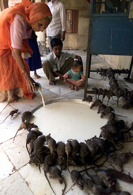 A devotee pours an offering of milk for rats at the Karni Mata temple in Deshnoke.
