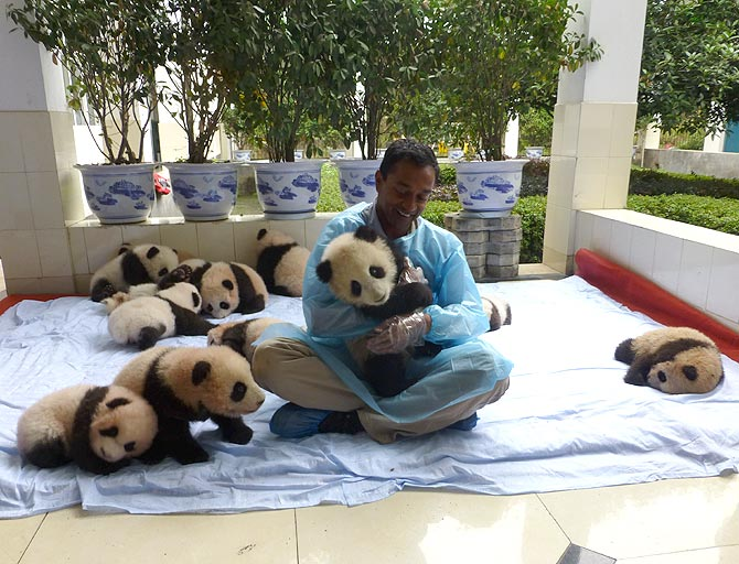 M Sanjayan with baby pandas at the Wolong breeding centre in China