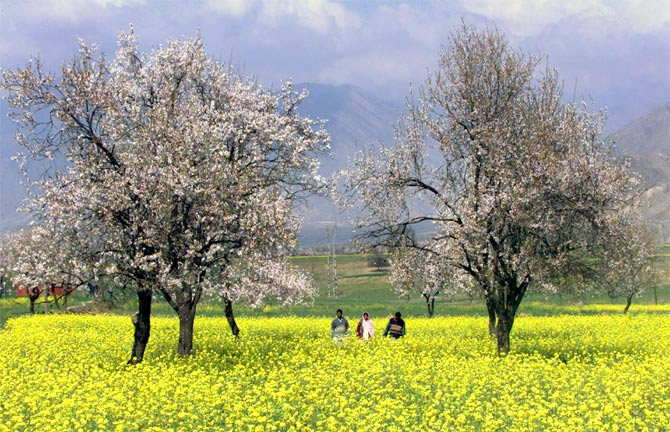 A mustard field with apricot trees in Kanibal on the outskirts of Srinagar.