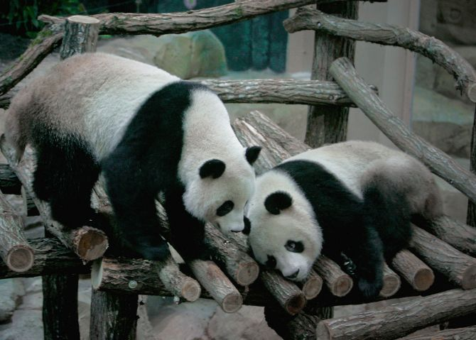 Pandas banned from predicting World Cup scores
