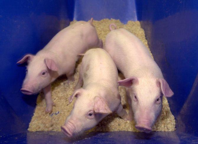 Pigs snuck into Ugandan parliament