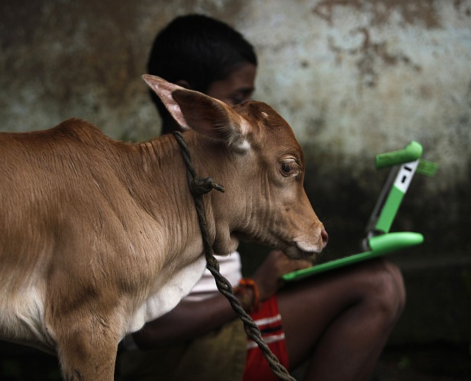 A schoolboy uses a laptop provided to him under 'one laptop per child' project by non-governmental organisation as a calf stands near in a primary state-run school