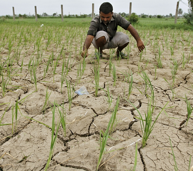 A farmer removes dried plants from his parched paddy field at Narimanpura village, on the outskirts of Ahmedabad