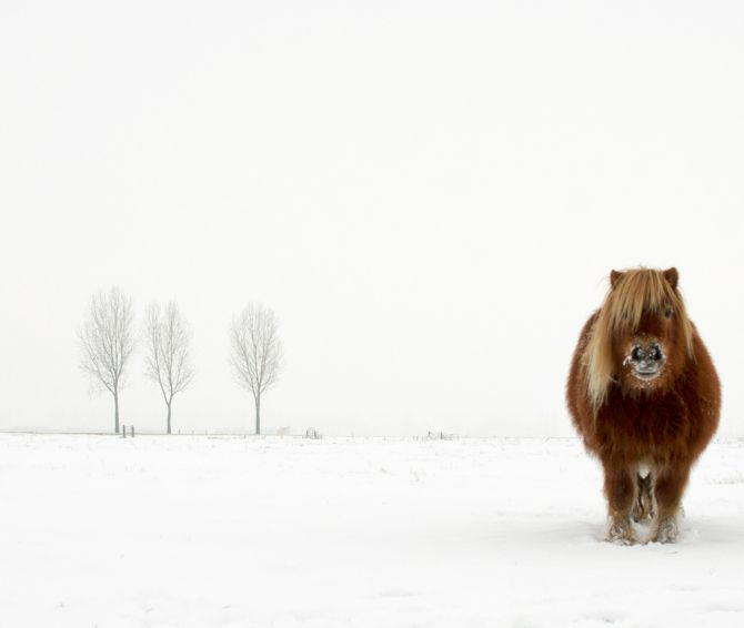 Winner 'Nature and Wildlife': 'The Cold Pony' by Gert van den Bosch, Netherlands