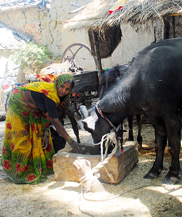 Savitridevi with the buffalo she bought with a loan from a self-help group. She is the sole earning member in the family of six.