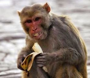 No kidding! This monkey is all set to become a millionaire ...