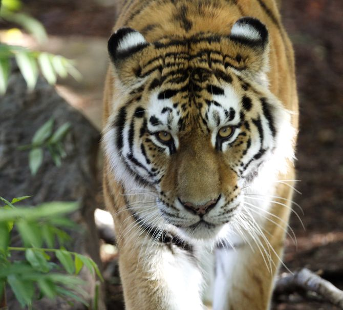 India News - Latest World & Political News - Current News Headlines in India - Tiger numbers roar back for first time in 100 years