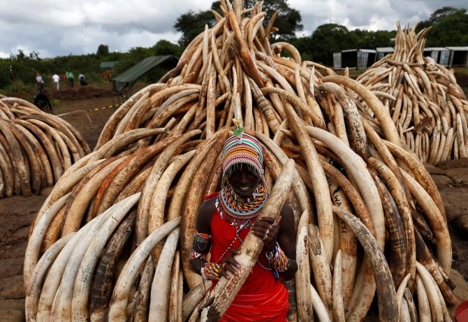 India News - Latest World & Political News - Current News Headlines in India - Why Kenya is burning 100 tonnes of ivory