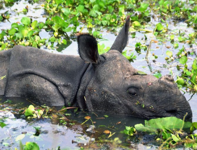 India News - Latest World & Political News - Current News Headlines in India - Assam flood: Over 200 animals drown at Kaziranga