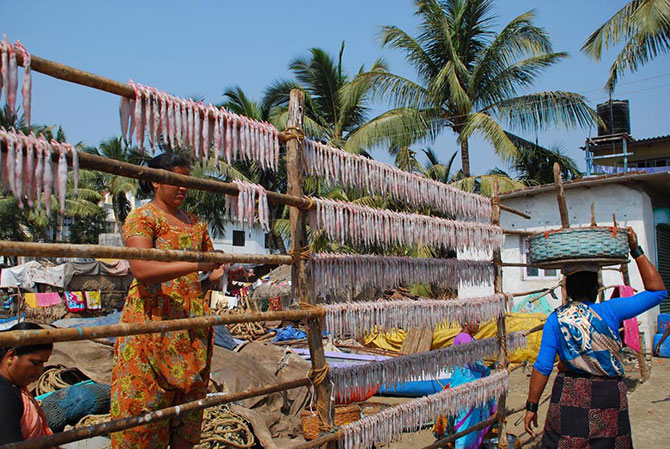 Drying Bombay duck fish in order to preserve it.