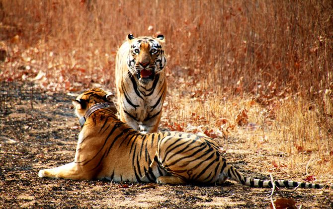 India News - Latest World & Political News - Current News Headlines in India - Are Adivasis being driven out to save the tiger?