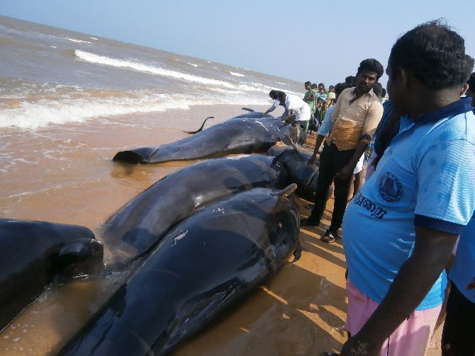 An Impending Quake Caused Whale Beaching In Tn Rediff India News