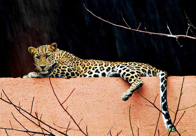 leopard enters thane