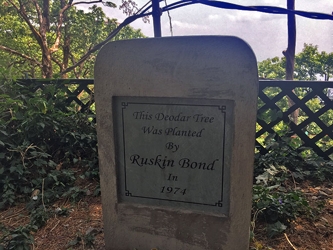 Deodar tree planted by Ruskin Bond
