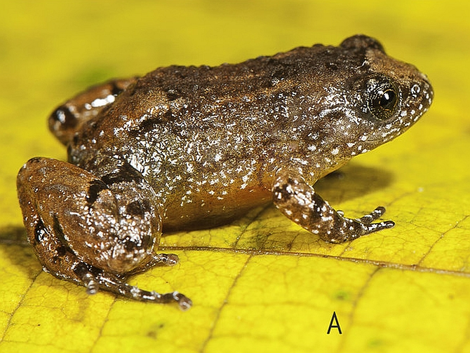 India News - Latest World & Political News - Current News Headlines in India - 7 new frog species found in Western Ghats