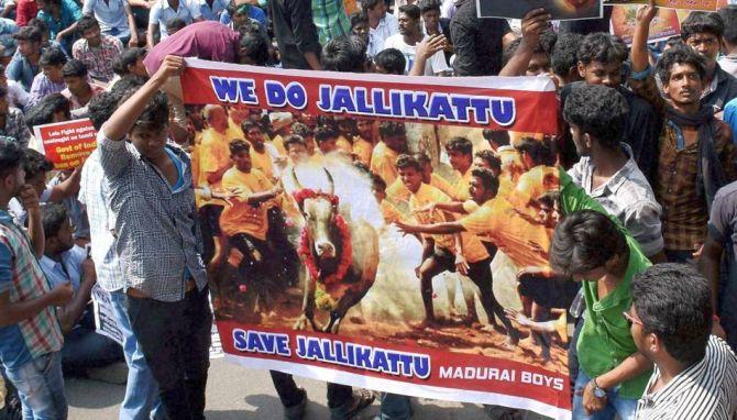 Jallikattu ban: Protests intensify in Tamil Nadu, 149 held - Rediff