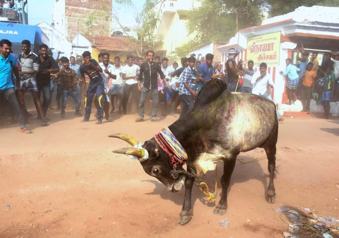 India News - Latest World & Political News - Current News Headlines in India - Guv approves ordinance, Jallikattu to be held in TN on Sunday