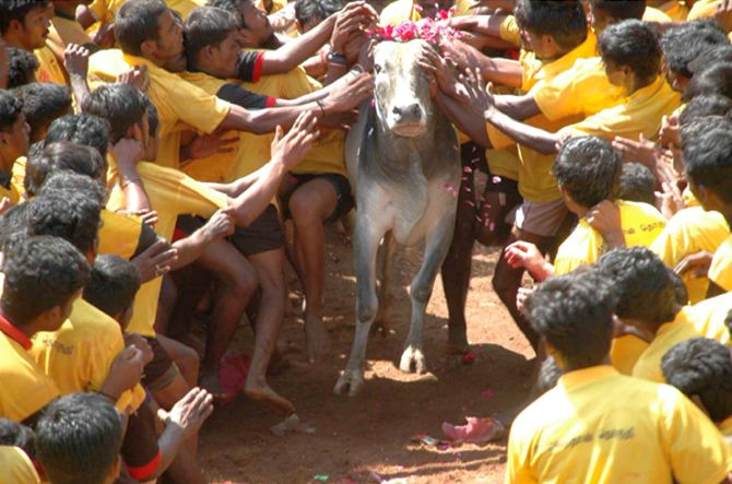 India News - Latest World & Political News - Current News Headlines in India - 'Jallikattu can't be played without torturing bulls'
