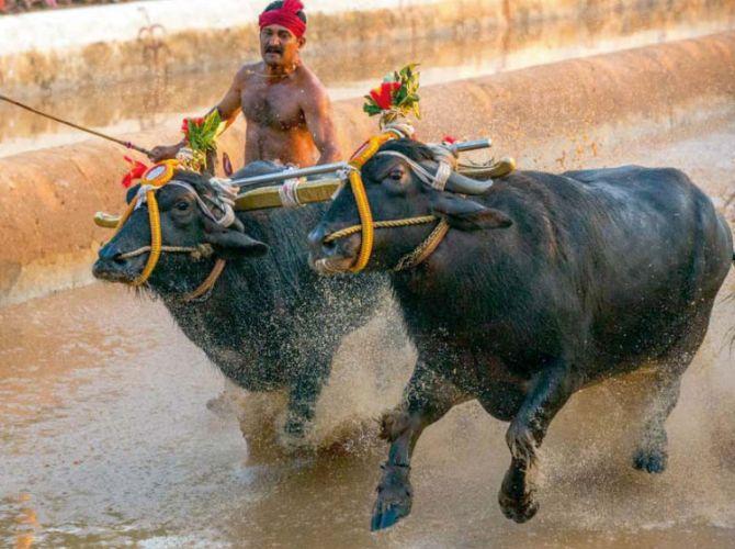 India News - Latest World & Political News - Current News Headlines in India - Karnataka now mulls passing ordinance on buffalo racing sport Kambala