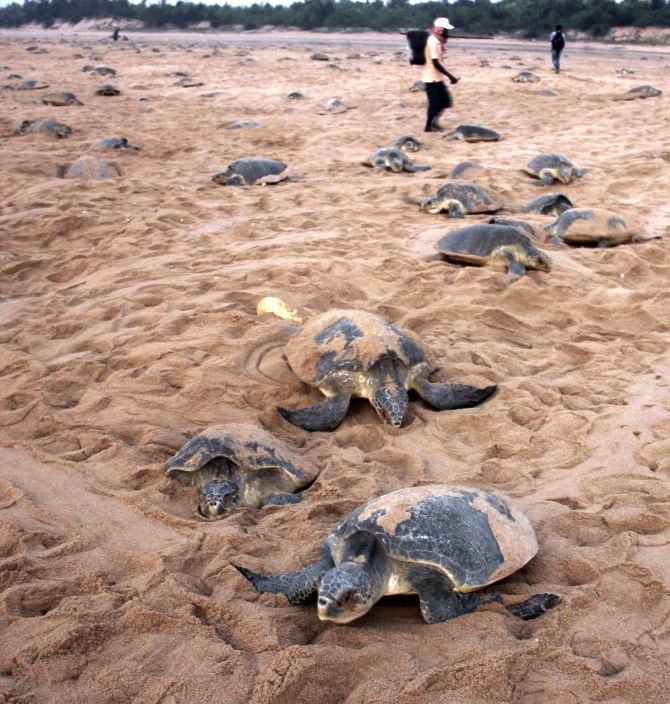 India News - Latest World & Political News - Current News Headlines in India - PHOTOS: Olive ridley turtles are back in Odisha!