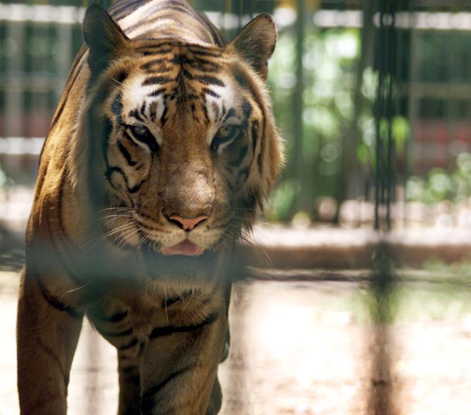 India News - Latest World & Political News - Current News Headlines in India - Stomach this! Big cats in UP zoo forced to munch on chicken, mutton