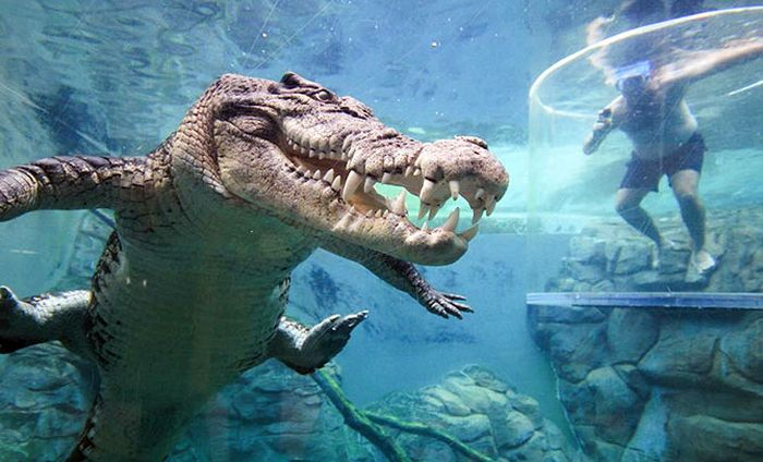 India News - Latest World & Political News - Current News Headlines in India - PHOTOS: Would you dare swim with these crocodiles?