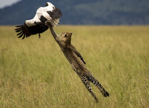 India News - Latest World & Political News - Current News Headlines in India - Nature at its best! The leaping leopard and more..