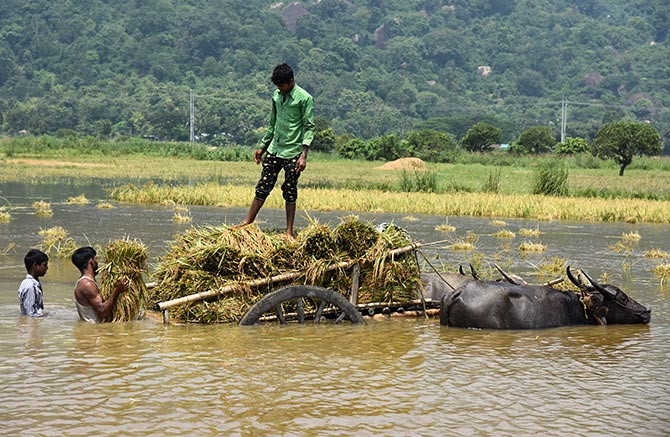 People load their harvested crop onto a buffalo cart in a flooded paddy field at Mayong village in Morigaon district, in the northeastern state of Assam, India June 6, 2017. Photograph: Anuwar Hazarika/Reuters