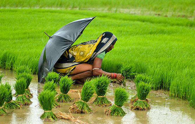 A woman farmer works in a paddy field in the eastern Indian state of Orissa July 25, 2012. Rice is the main summer-sown crop in the country. Sowing is over in 14.46 million hectares compared to 16.13 million hectares a year earlier. Poor rainfall has affected sowing in West Bengal, Orissa and the northern states of Uttar Pradesh and Punjab. Photograph: Stringer/Reuters