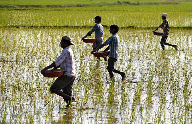 Farmers sprinkle fertilizers on a paddy field on the outskirts of Ahmedabad, India, February 1, 2017. Photograph: Amit Dave/Reuters