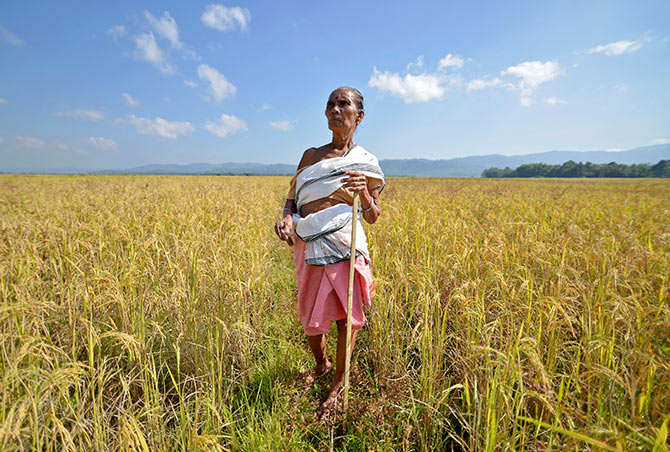 A farmer stands on her paddy field before cutting the crops at Bamuni village in Nagaon district in the northeastern state of Assam, India, November 19, 2016. Photograph: Anuwar Hazarika/Reuters