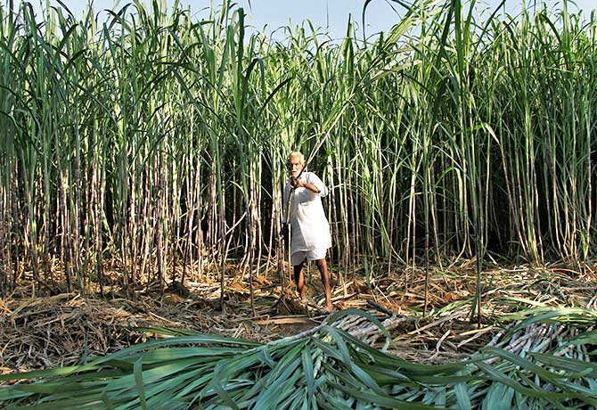 A farmer harvests sugarcane in his field at Motisir village in the desert state of Rajasthan, India October 27, 2016. Photograph: Himanshu Sharma/Reuters