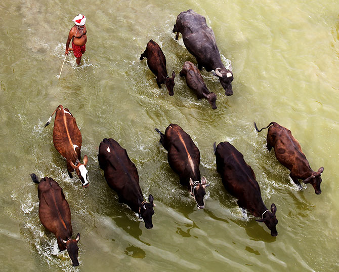 Animals cross the Ganga