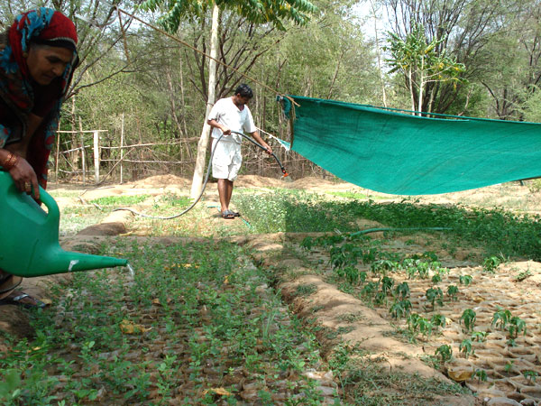 Growing saplings in a nursery for distributon all over India